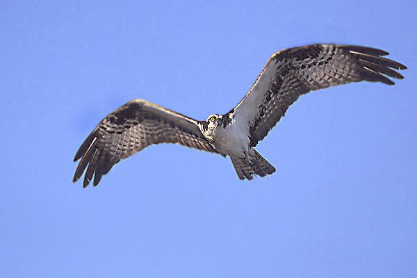 Glaslyn Osprey in flight